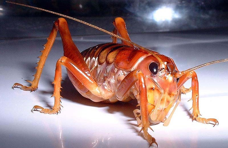 South African insect