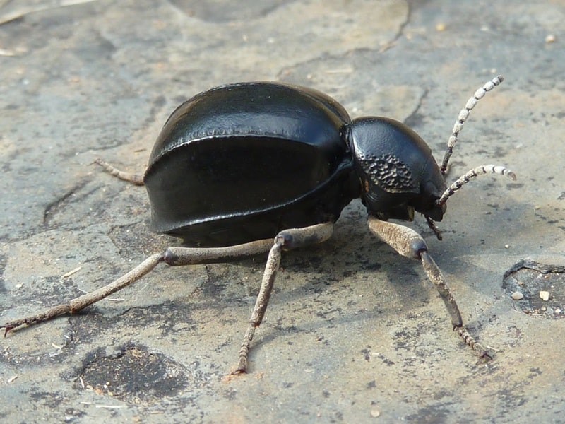 litle black beetle from South Africa